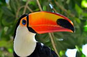 picture of toucan  - toucan outdoor  - JPG