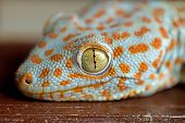 stock photo of lizard skin  - Closeup of a Tokay Gecko  - JPG