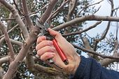 stock photo of prunes  - pruning a tree agricultural winter work  - JPG