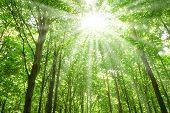 Постер, плакат: Солнечный свет в деревьями леса