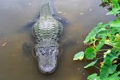 picture of alligator  - American alligator in tropical lake - JPG