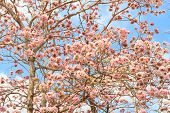 picture of trumpet flower  - Rosy trumpet flower or Pink trumpet flower blooming on tree - JPG