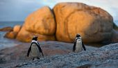stock photo of jackass  - African penguin pair at sunset near Cape Town South Africa - JPG