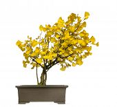 Ginkgo bonsai tree, isolated on white