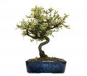 picture of honeysuckle  - Honeysuckle bonsai tree - JPG