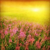 Summer field with lupine flowers and sunset in grunge and retro style.