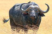 pic of cape buffalo  - Cape buffalo  - JPG