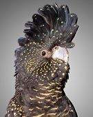 foto of cockatoos  - a portrait of a red tailed black cockatoo - JPG