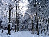 foto of snowy-road  - A forest road through a snowy spruce forest  - JPG