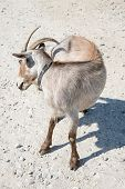 pic of goat horns  - Brown goat  with sharp horns standing on rocky ground - JPG