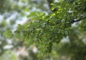 stock photo of elm  - One branch of elm with green leaves - JPG