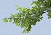 picture of elm  - Isolated branch of elm with green leaves - JPG
