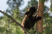 pic of bear cub  - small black bear cub climbing a pine tree in south Dakota - JPG