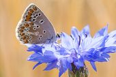 picture of boutonniere  - Cornflowers Flowers also called Bachelor
