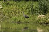 pic of bluegill  - A Great Blue Heron patients waits for some fish - JPG