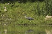 foto of bluegill  - A Great Blue Heron patiently waits for food - JPG