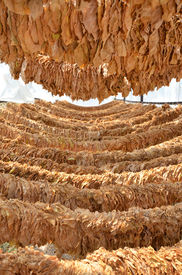 picture of tobaco leaf  - Picture of a Drying tobacco leaves on sun  - JPG