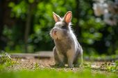 picture of herbivore animal  - A cute fluffy gray and white rabbit outdoors in summer - JPG