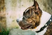 pic of american staffordshire terrier  - Nice Adult Dog American Staffordshire Terrier Outdoor Close Up - JPG