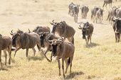 stock photo of wildebeest  - Large herd of wildebeests walking in search of water - JPG