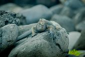 image of darwin  - iguana on a rock in san cristobal galapagos islands - JPG