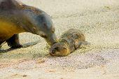 stock photo of sea lion  - baby sea lion with mother in san cristobal galapagos islands ecuador - JPG