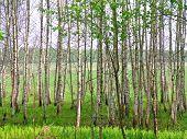stock photo of birchwood  - Birch is a broadleaved deciduous hardwood tree of the genus Betula - JPG