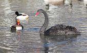 image of black swan  - Beautiful black swan with wild ducks swimming in water  - JPG