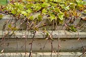 stock photo of ivy  - On the brick parapet of the fence begins to climb young - JPG