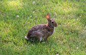 picture of thumper  - rabbit waiting in meadow for some food - JPG