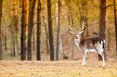 foto of male-domination  - Young male red deer stag in autumn fall forest - JPG