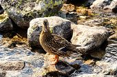 stock photo of duck pond  - Duck standing on a stone on the shore of the pond in mountains - JPG