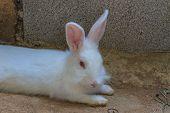 image of dwarf rabbit  - Beautiful fluffy white rabbit sleep at home - JPG