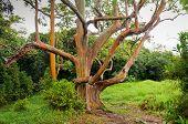 stock photo of eucalyptus trees  - Rainbow Eucalyptus Trees in rain - JPG