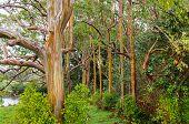 pic of eucalyptus trees  - Rainbow Eucalyptus Trees in rain - JPG