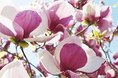 foto of magnolia  - close up of white and purple magnolia flowers against blue sky - JPG