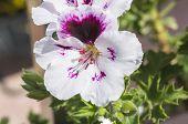 stock photo of geranium  - Geranium flowers Pelargonium spring time, garden and flowers ** Note: Soft Focus at 100%, best at smaller sizes - JPG