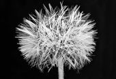 foto of dandelion  - Dandelion ball over black background - JPG