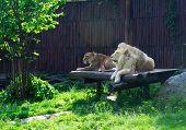 foto of animal teeth  - Lion king of animals - JPG