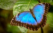 stock photo of emperor  - The Peleides Blue Morpho Common Morpho or The Emperor Morpho peleides is an iridescent tropical butterfly found in Mexico Central America northern South America Paraguay and Trinidad - JPG