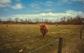 foto of highland-cattle  - A highland cow in the fields on a sunny day - JPG