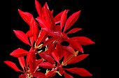 pic of red robin  - Fraseri Photinia red tip - JPG