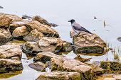 stock photo of kiev  - A black crow close to the Dnieper river in Kiev during winter - JPG