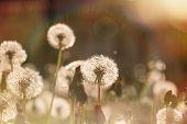 picture of dandelion  - Beautiful dandelion field  - JPG