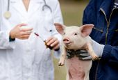 picture of piglet  - Afraid piglet of workers hands waiting for vaccination - JPG