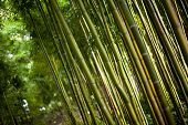stock photo of bamboo forest  - Close up of giant bamboo in a Chinese forest