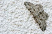 image of moth  - Gray moth sitting on a white wall - JPG