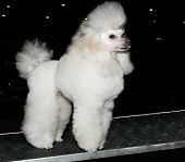 pic of poodle  - The Miniature Poodle looks ahead on the show - JPG