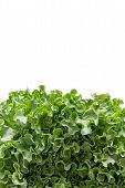 picture of frilly  - Bottom border of newly Harvested fresh frilly green lettuce for a salad ingredient or garnish isolated on white with copys pace vertical with clipping path - JPG