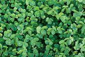 picture of clover  - Green grass clover seamless texture - JPG